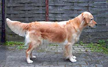 golden retriever haaren